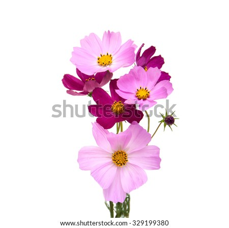 Cosmos flowers isolated on a white background - stock photo