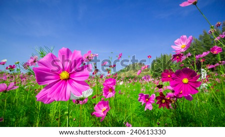 cosmos flowers  mid Central courtyard A beautiful and blue sky - stock photo