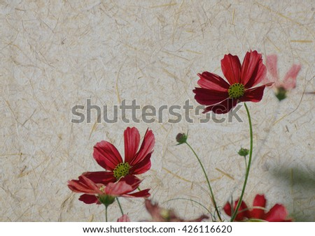 Cosmos flowers on old mulberry paper texture background, vintage background.