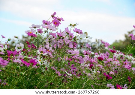 cosmos flowers pink color wall background green nature garden blooming colorful plant  - stock photo