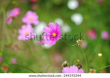 cosmos flowers pink wall background nature color texture wallpaper green  - stock photo