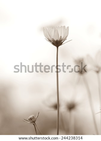 Cosmos flowers, spring background, black and white. - stock photo