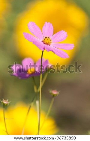 Cosmos flowers up close