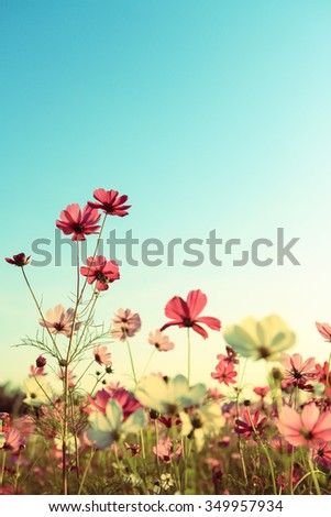 Cosmos Flowers vintage  - stock photo