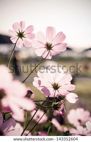 Cosmos flowers (vintage tone) - stock photo