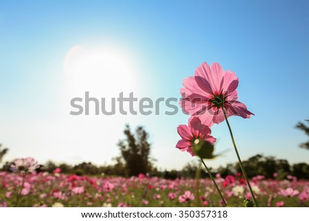 Cosmos Flowers with blue sky - stock photo