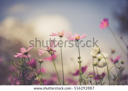 Cosmos flowers with blue sky, vintage color tone