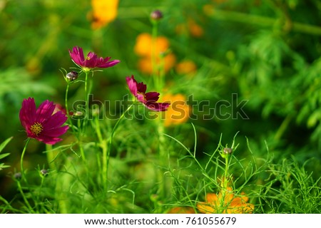 https://thumb1.shutterstock.com/display_pic_with_logo/167494286/761055679/stock-photo-cosmos-in-a-japanese-garden-761055679.jpg