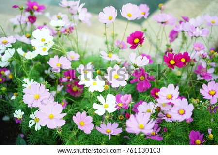 https://thumb1.shutterstock.com/display_pic_with_logo/167494286/761130103/stock-photo-cosmos-in-a-park-761130103.jpg