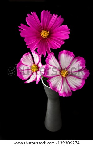 Cosmos pink and white flower in studio closeup black background - stock photo