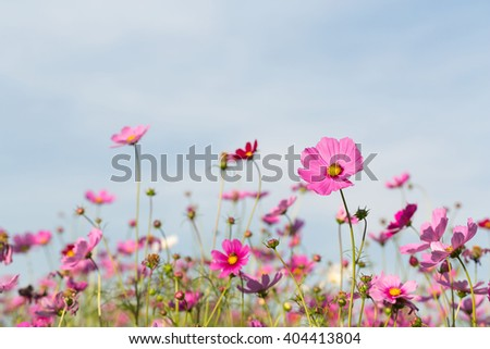 Cosmos purple flower and bee in a garden     - stock photo