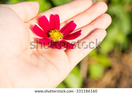 Cosmos red flower in hand warm tone with blurred background / concept nature in hand.