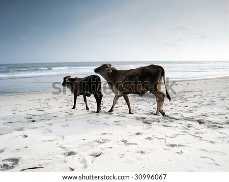 COSTA DEL SOL, EL SALVADOR. Two cows on a beach on the beach Costa del Sol in El Salvador. - stock photo