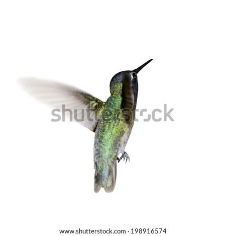 Costa's hummingbird isolated on white. - stock photo