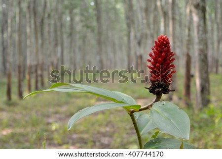 Costus speciosus is an medicinal and ornamental plant and is native to southeast Asia. - stock photo