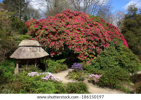 COTEHELE, CORNWALL/UK - APRIL 14 : Magnificent Rhododendron in Cotehele Cornwall on April 14, 2004