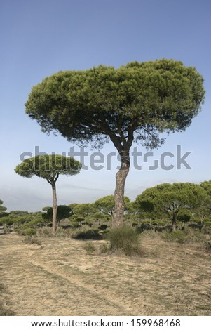 Coto Donona National Park, West Andalucia, Spain Stone Pine (Pinus pinea) forest in Western part of park