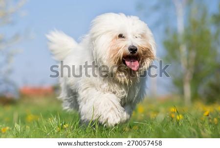 Coton de tulear dog run in spring meadow - stock photo