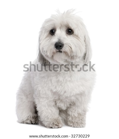 Coton de Tulear (2 years old) in front of a white background