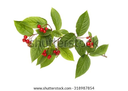 Cotoneaster berries and foliage isolated against white - stock photo