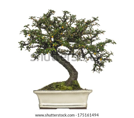 Cotoneaster horizontalis bonsai tree, isolated on white - stock photo