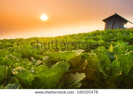 cottage in green chinese cabbage farm under sunrise in the morning - stock photo