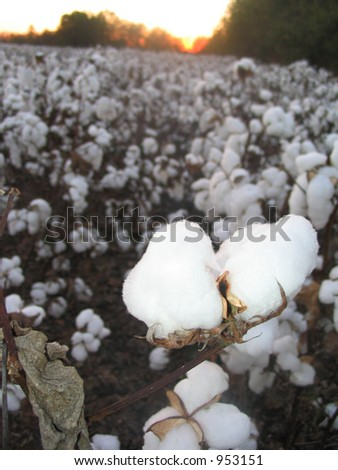 Cotton boll at sunset - stock photo
