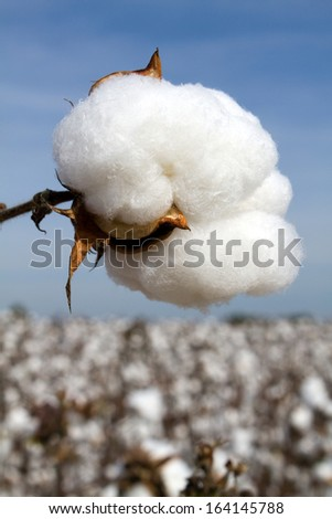 Cotton boll in a field ready to be harvested. - stock photo