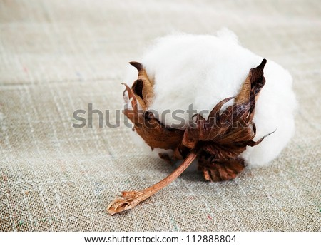 Cotton boll on cotton fabric surface - stock photo