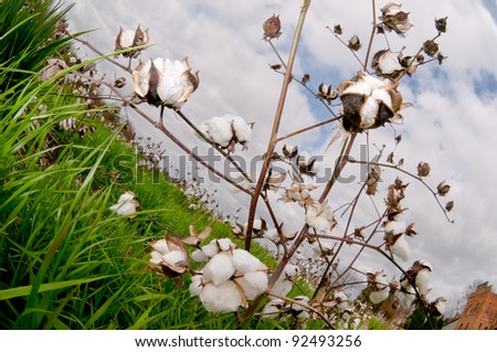 Cotton bolls in a field .ready to be picked