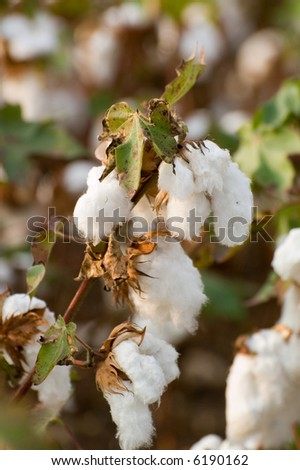 cotton field in northern Greece - stock photo