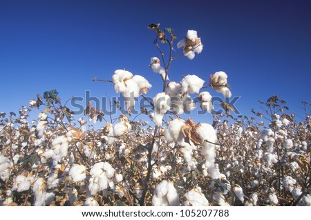 Cotton field in Tucson, AZ