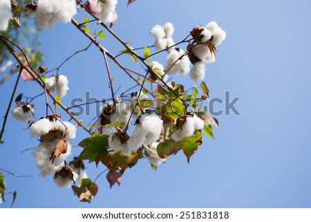 Cotton   field ready for harvest - stock photo