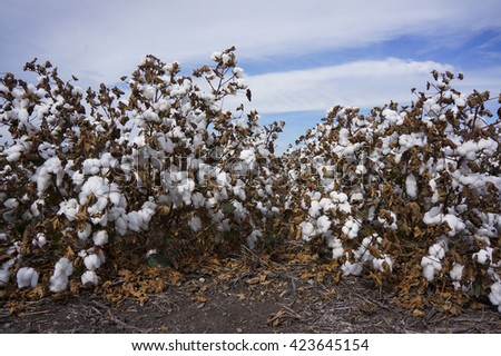 Cotton Fields Ready For Harvesting in Australia