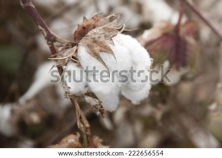 cotton fields white with ripe cotton  - stock photo