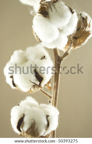 cotton flower detail with brown background - stock photo
