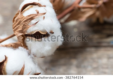 Cotton flowers close up - stock photo