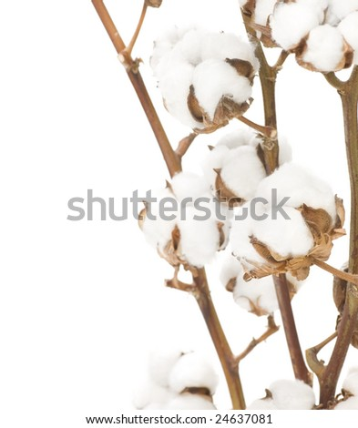 Cotton Flowers over white - stock photo