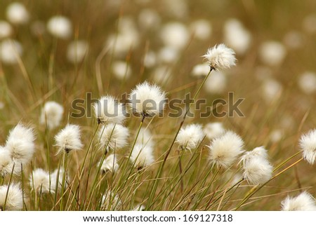 Cotton Grass at Bowness Common - stock photo