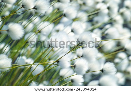 Cotton grass close-up - stock photo