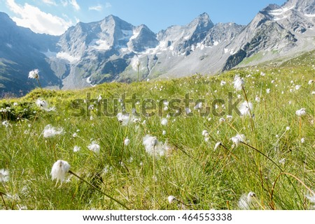 Cotton grass field in high mountains