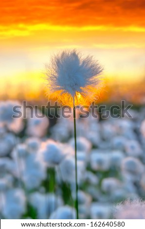 Cotton grass on a background of the sunset sky - stock photo