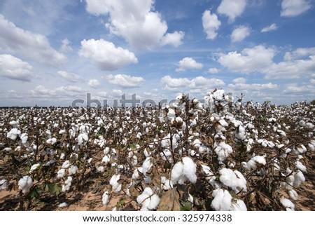 Cotton Picking Time - stock photo