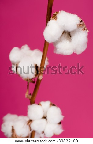 Cotton plant - stock photo