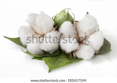 cotton plant isolated on white background - stock photo