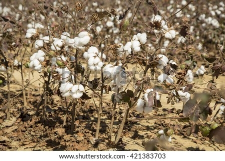 cotton plantation - cotton Feet detail