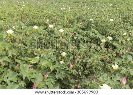 Cotton plantation in flower - stock photo