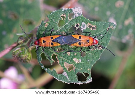 cotton stainers are mating on the green leaf - stock photo
