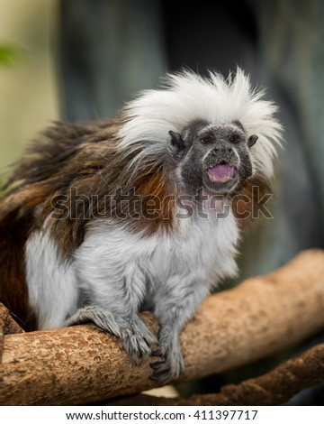 Cotton-top tamarin (Saguinus oedipus) is one of the smallest primates in the world