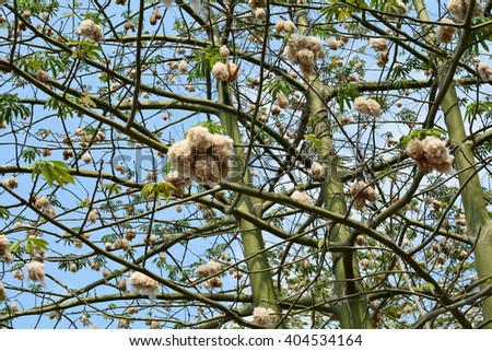 Cotton Tree, Blooming Flower Beige, Furry, Green Leaves, Blue Sky, Tropical Garden, Vietnam, Asia Pacific